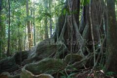 The Old Trees - DestinationKohKood.com