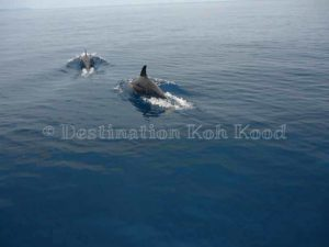 Dolphins on the way to Laem Sok - Koh Kood Speed Boat