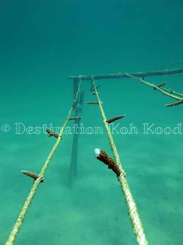 Coral Nursery - Koh Kood Divers